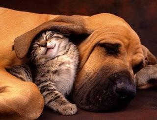 Gato debaixo orelha cão
