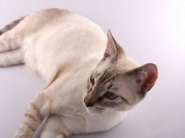 Follow the Piper: SIAMESE CATS