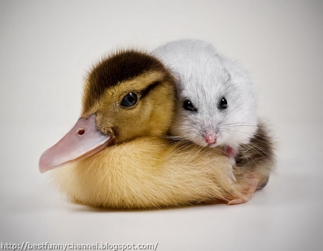 Duckling and hamster.