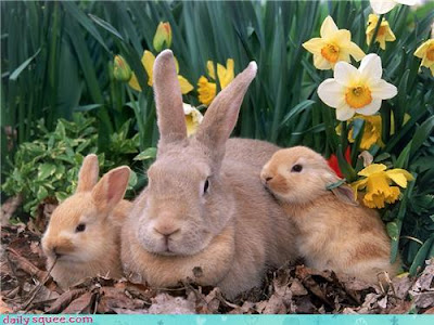 Three real rabbits with daffodils