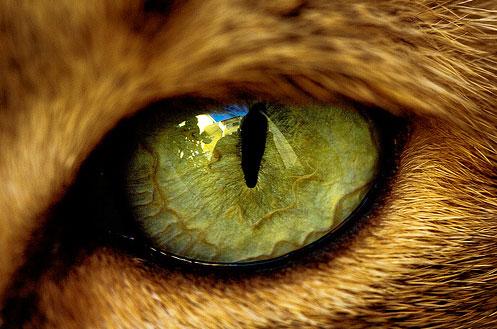 y gatos con ojos diferentes