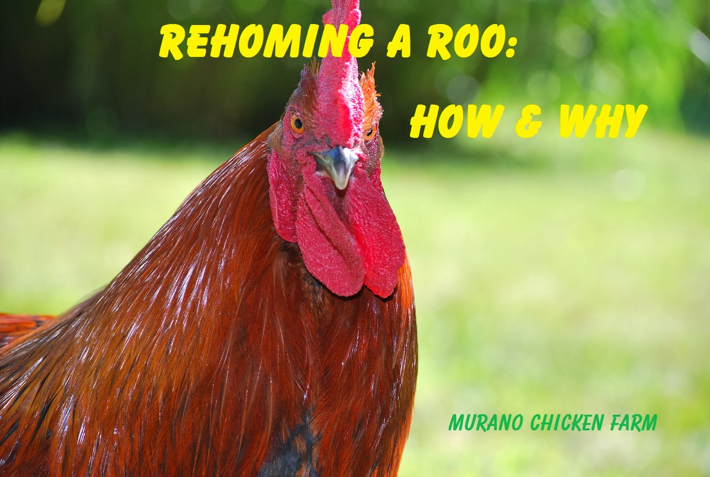rehoming chickens