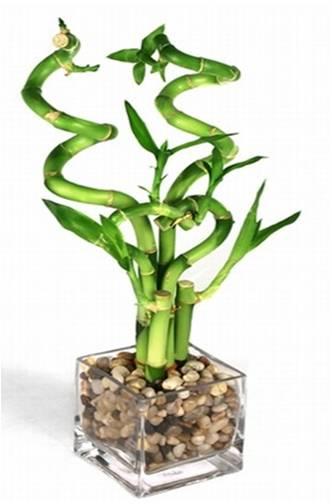 Vida a lo verde living in green cuales son algunos mitos - Bambu cuidados en maceta ...