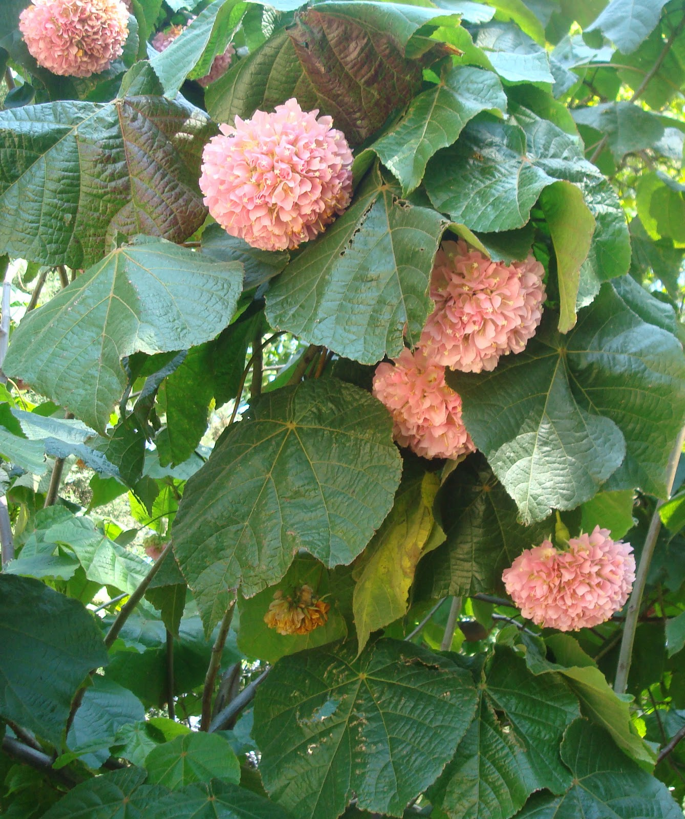 Elarbolmiamigo encinarosa dombeya x cayeuxii dombeyas - Semillas de hortensias ...