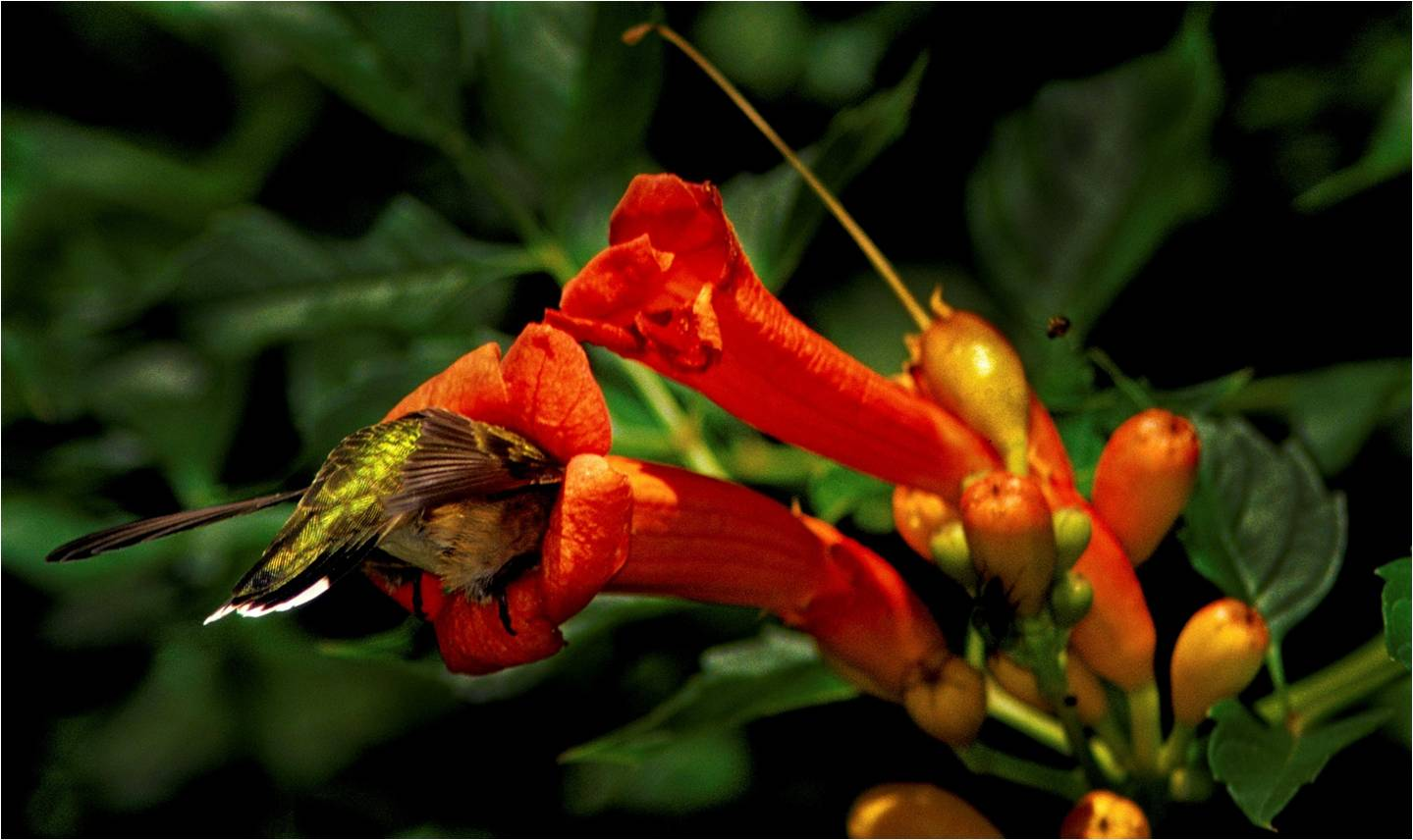 kentucky native plant and wildlife  the hummers are back in town  time to get the feeders up and