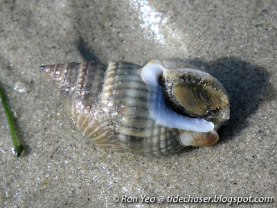 Common Dog Whelk (Nassarius livescens)