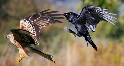 Historia japonesa: El milano y el cuervo