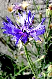 http://fr.wikipedia.org/wiki/Centaurea_cyanus