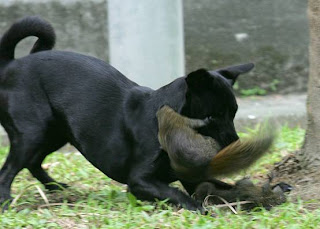 A mother squirrel rescues her baby from a big bad black dog.