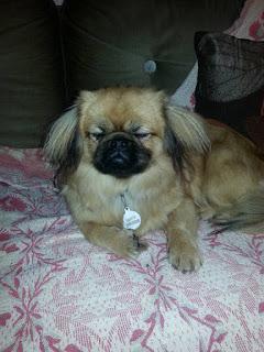 Βρέθηκε αυτός ο σκύλος στην Χαλκιδική (23/10). Μήπως τον ψάχνει κανείς?