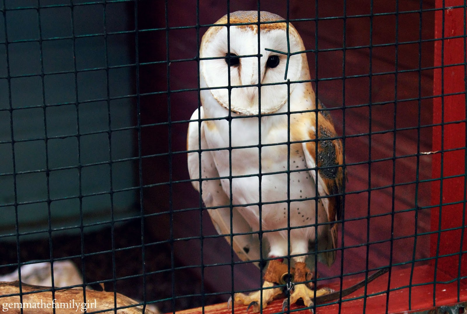 my sunday photo, photo, barn owl, photography, woodlands theme park, hawk, bird of prey,