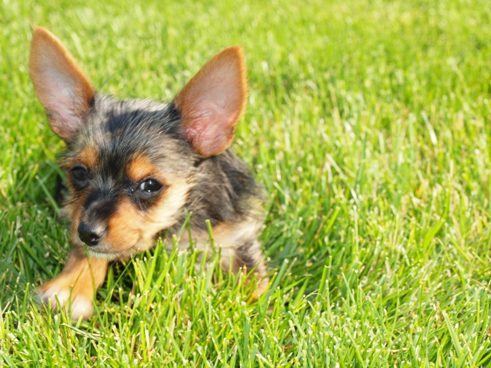 Half Yorkie Half Chihuahua   Dog Breeds Picture