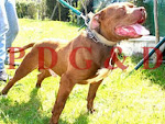 APBT MACHO - RED RAY