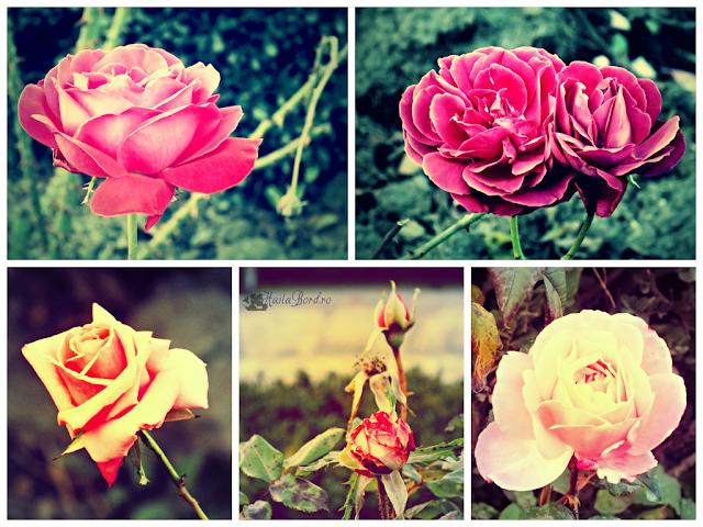 trandafiri parc marghiloman buzau