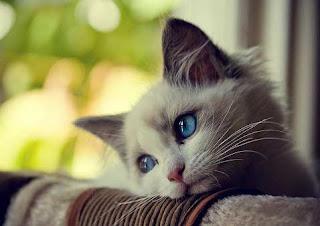 Foto Kucing Galau