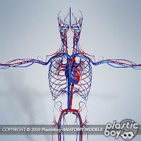 3d Cardiovascular System5