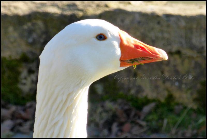 Goose Queen's Hamlet Versailles