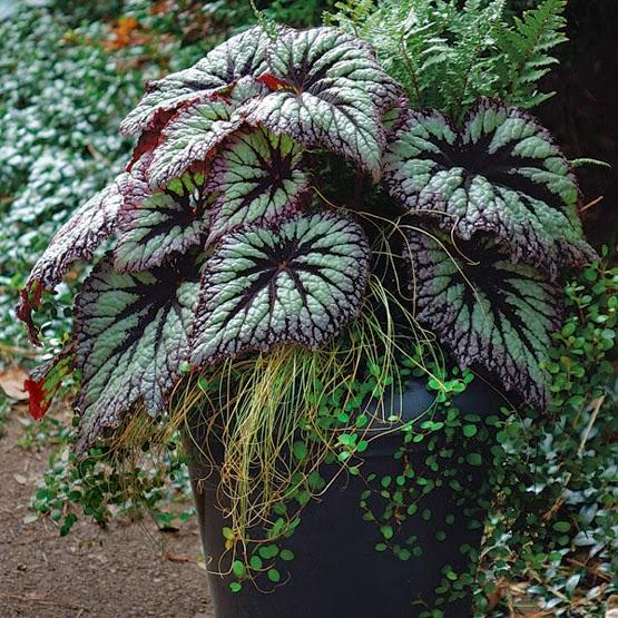 Tanaman Hias Bunga Begonia