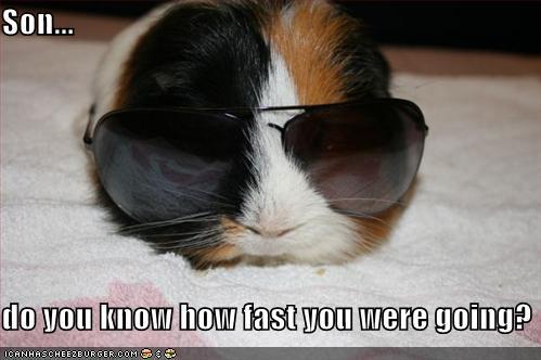 undercover guinea pigs internet memes lolpigz