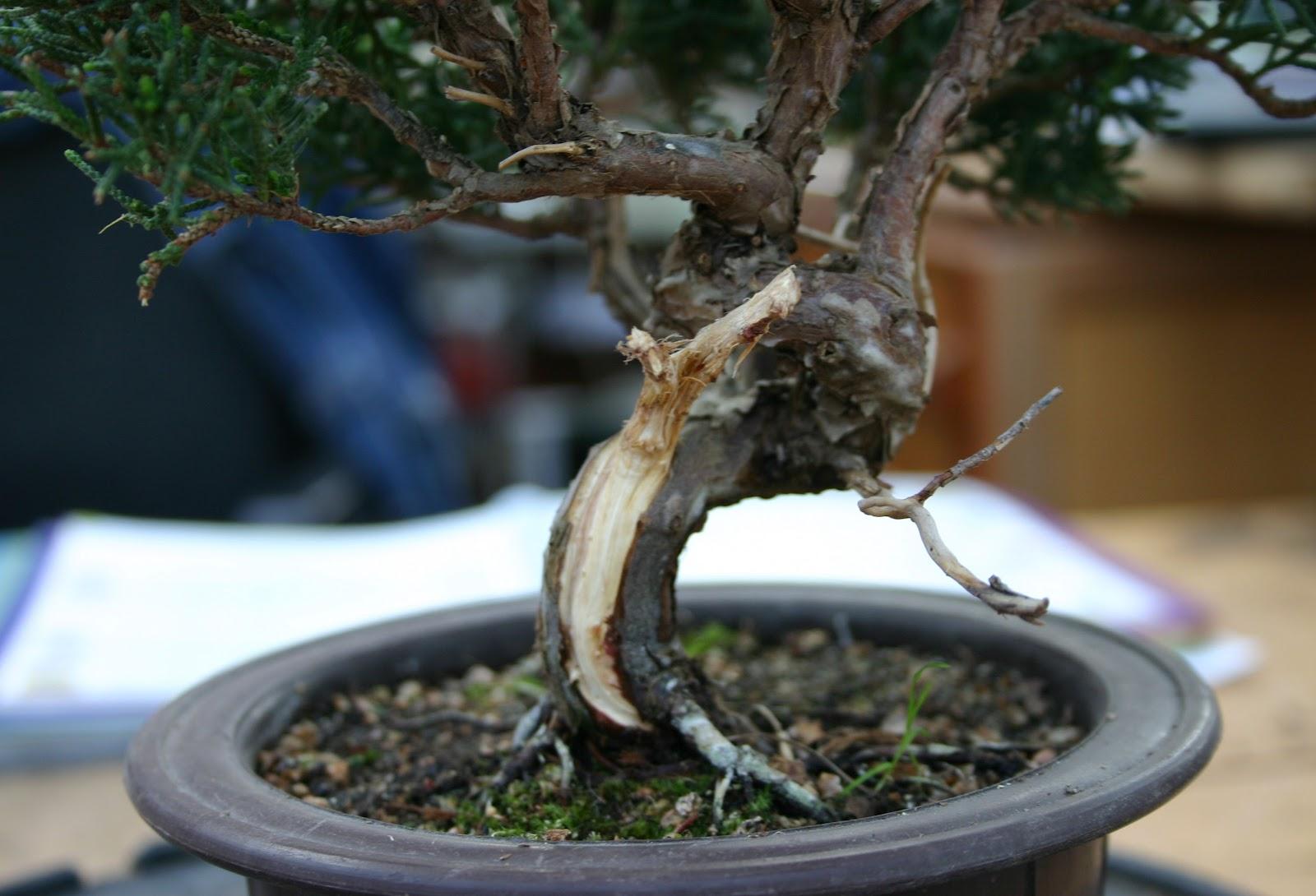bonsai erstgestaltung juniperus chinensis. Black Bedroom Furniture Sets. Home Design Ideas