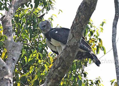 Harpy Eagle, Fabrice Schmiitt