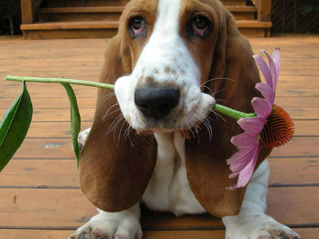 Droopy basset hound with a flower in jaws