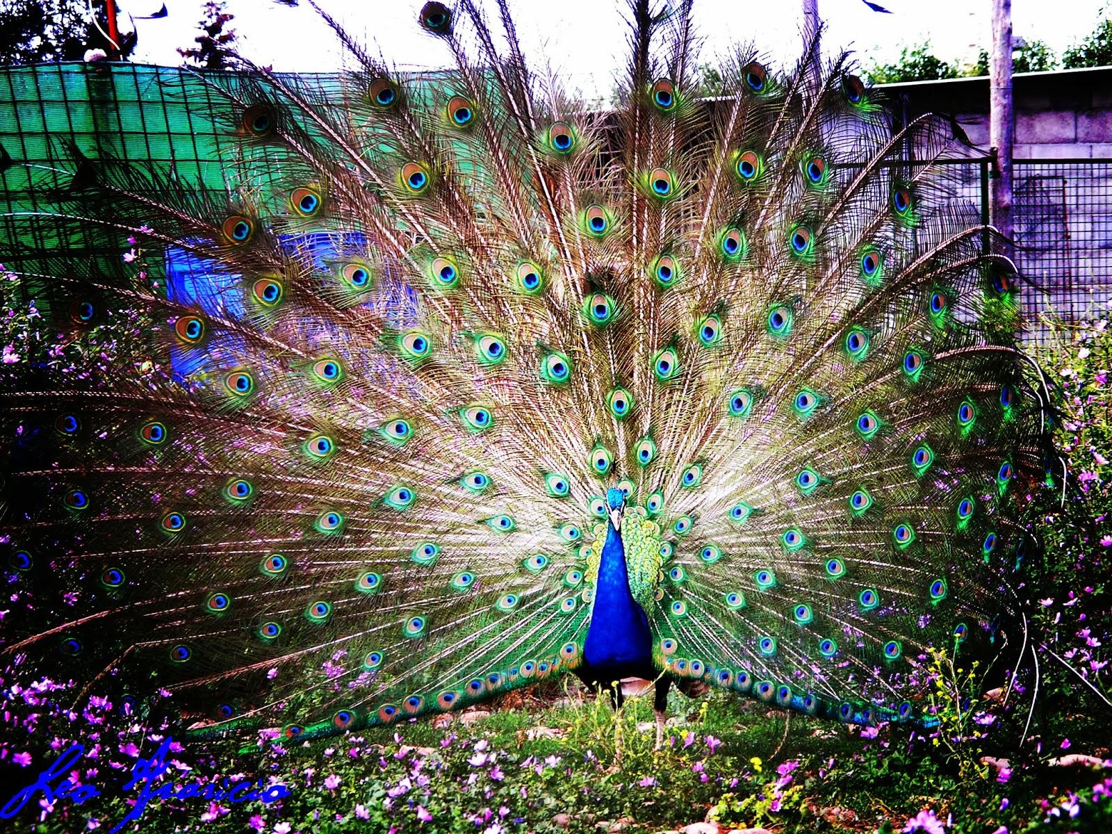 Fotos de naturaleza animales paisajes animadas y - Fotos de un pavo real ...