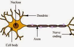 Ncert solutions class 10 science chapter 7 control and coordination structure of neuron ccuart Gallery