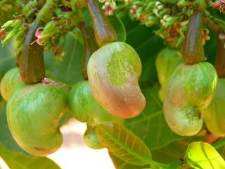 arbol de anacardo