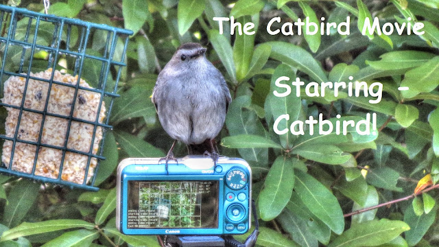 Gray Catbird at Suet Feeder stars in own movie