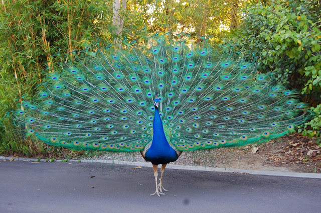 peacock ready to dance