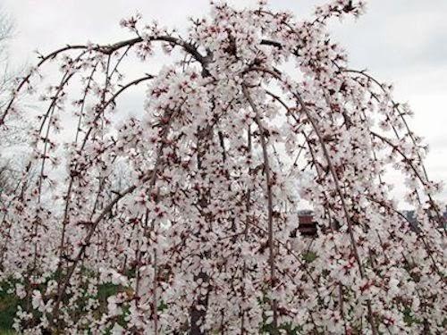 GUIDE TO NORTHEASTERN GARDENING: Spring Flowering Trees: Pretty in ...
