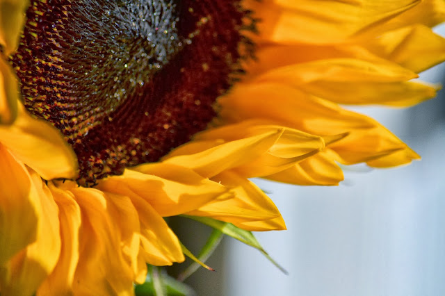 photo of a sunflower by Nancy Zavada