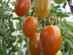 """Tomates """" Cherry Pera"""""""