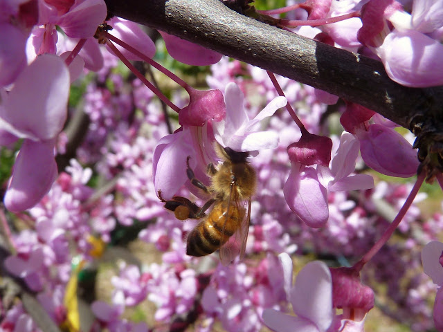 Bee on redbud flower