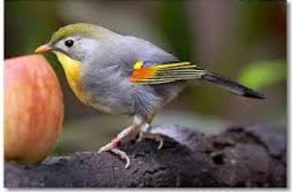 Burung Robin yang bernamakan latin (Turnidae Migratorius) merupakan salah satu jenis burung yang asal muasalnya dari negeri China, dan memang merupakan jenis burung periang, lincah dan suka berbunyi. Warna perpaduan hijau dan abu-abu, dengan sedikit warna merah dibagian sayap membuat kombinasi tersebut menjadi salah satu daya tarik para kicaumanua untuk bisa memilikinya. Disamping paruh merahnya yang semakin menambah daya tarik penampilan fisiknya. Awal ke datangan burung robin ke Indonesia dimulai oleh para pedagang asal China yang membawa serta burung ini ke negara yang mereka datangi salah satunya Indonesia.Sebab bagi kalangan orang Tionghoa burung Robin menyimpan mitos yang dapat membawa keberuntungan, sedari itu saat orang Tionghoa merantau meninggalkan negerinya burung robinnya juga ikut dibawanya ke tempat yang dituju oleh tuannya.Penyebaran burung Robin tidak sampai ke wilayah hutan Indonesia dan hanya ada di wilayah Himalaya, Cina, Kamboja, Myanmar, Laos dan Vietnam. Di Amerika burung Robin sudah ditangkarkan karena perdagangan burung ini sangat pesat sekali sehingga mengancam habitatnya di wilayah aslinya. Di tahun 90-an harga burung Robin di toko-toko burung sangatlah murah sekali dan saat ini harganya menjadi sangat mahal sebab langkanya burung ini di pasaran.    Makanan yang Dibutuhkan Burung Robin Pakan utamanya adalah vour serta serangga dan kroto bisa diberikan beberapa haro sekali di samping jenis buah-buahan. Burung robin suka memakan serangga, buah berry, dan cacing. Pada musim dingin ia berpindah tempat tinggal ke sebelah selatan  Keunggulan Burung Robin Kicaunya Merdu Variasi suara banyak Warna bulunya cukup menarik Kelemahan Burung Robin Hanya beberapa burung robin yang dapat menyesuaikan cuaca yang ada di Indonesia Mudah Down