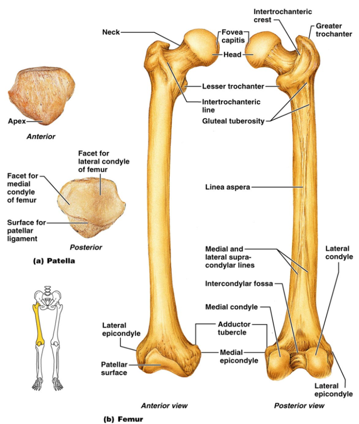 femur labeled anatomy picture reference and health news : unlabeled diagram of femur - findchart.co