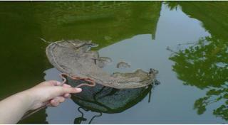 Air Kolam Yang Banyak Ditumbuhi Ganggang Hijau