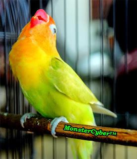 Tips Merawat Burung Lovebird Burung Lovebird termasuk burung yang suka mandi. Oleh karena itu usahakan untuk memberikan tempat mandi. Variasi pemberian sayuran dan buah segera dan Extra Fooding adalah kunci keberhasilan dalam perawatan burung Lovebird Asianan harus slalu terssedia didalam sangkar Pengumbaran di kandang umbaran dapat di lakukan 4 jam perhari selama 4 hari dalam seminggu Berikan multivitamin yang dicampurkan pada air minum seminggu sekali saja. Settingan Dini Agar Lovebird Gacor Dan Ngekek Panjang   Umur Menurut saya ini adalah hal utama yang perlu diperhatikan, mulai ajar piyik lovebird belajar mengenal bunyi yang kita inginkan bahkan sejak mereka masih didalam glodok sekitar umur 1 minggu sampai 1 bulan. Jadi download suara lovebird dahulu sebagai masteran lalu pendengarkan suara masteran tidak jauh dari gelodok mereka dengan volume yang tidak perlu keras, pastikan suaranya jangan terlalu banyak variasi karena akan membingungkan mereka dan mainkan audio ini pagi dan sore hari dan biarkan malam mereka beristirahat.  Proses pemasteran sejak dini  Hal yang berbeda lagi menurut teman saya pak herman dari magelang yang mempunyai jam ideal dia berkata kalo lovebird kecil akan lebih mengingat apa yang didengar pada saat jam istirahatnya yaitu pada malam hari seperti halnya manusia saat didongengkan saat malam hari, tetapi ingat setiap orang mempunyai trik yang berbeda tergantung anda menilainya saja.  Jika lovebird sudah bertumbuh remaja dan sudah bisa keluar dari gelodok sekitar 1,5 bulan dan seterusnya barulah kita mainkan audio yang sedikit bervariasi anda dapat memaster suara lovebird yang panjang, cililin atau serindit yang memiliki kecepatan rapat dalam suaranya ini akan melatih anakan lovebird agar terbiasa untuk dengan suara panjang. ( download audio 3 lovebird juara nasional tahun 2014 )  Pastikan lovebird yang akan dikontes berumul 6 bulan keatas, tetapi setiap jawara memiliki setingan sendiri ada yang sangat muda sudah memiliki bakat lalu di lom