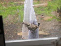 PINE SISKIN - reminds us to let go of long held negative beliefs