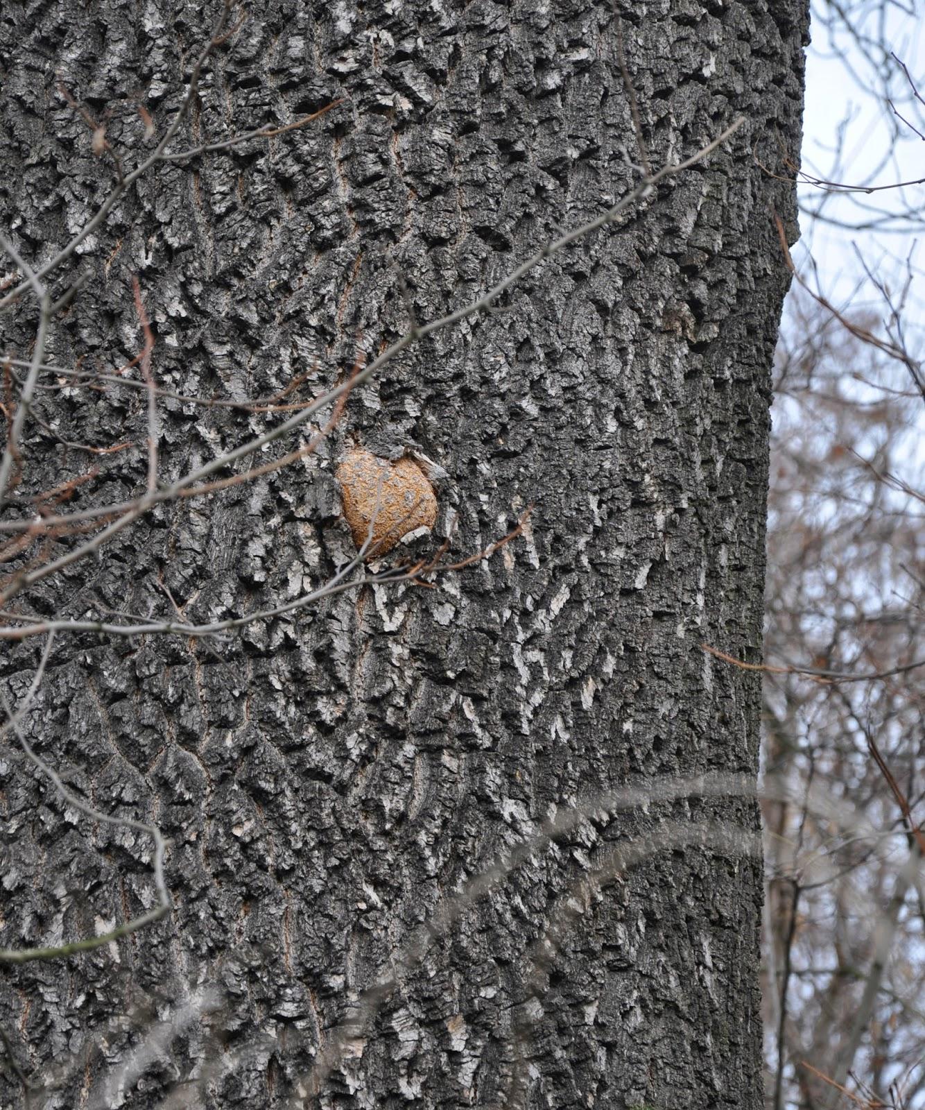 Kościeliska, dzielnica Końskich. Stare drzewa pamiętające wydarzenia sprzed 200 lat (może więcej?). W jednym z nich jest taka swoista kapsuła czasu - wrośnięta kamienna kula. Czytelnicy może ją odszukają? Foto. KW.