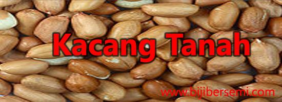 cara menanam kacang tanah yang baik, kacang tanah
