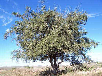 arboles de Argentina Tala Celtis ehrenbergiana