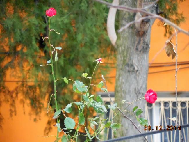 Trandafir de la Craiova, te-as iubi dar nu e vremea