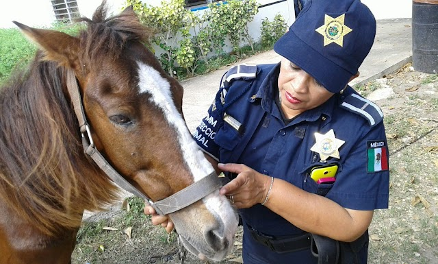 "Rescatan a ""Pitufo"", caballo ""tierrero"""