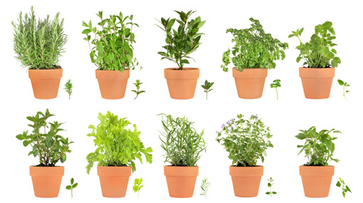 Perfect ... Come Only When Cooking With Fresh Cut Herbs And How They Enhance Your  Culinary Adventures.There Is A Whole Lot Of Herbs On Sale At The Nursery  Namely::