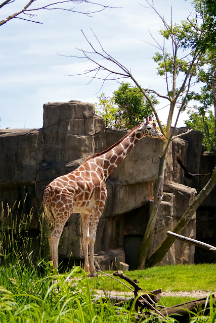 Giraffe. Tammy Sue Allen Photography - Lincoln Park Zoo, Chicago.