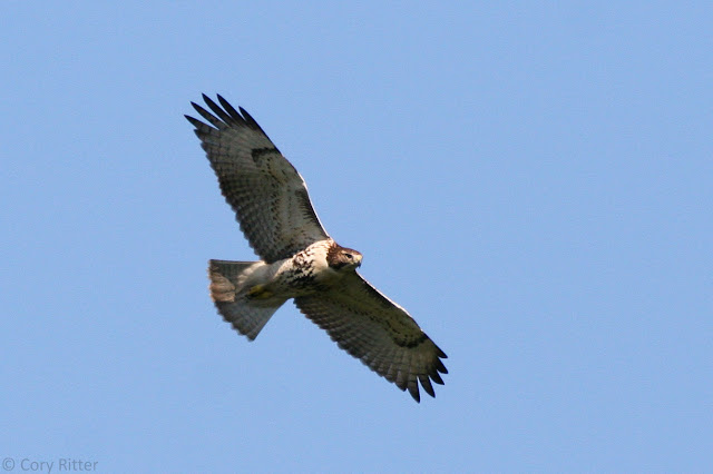Immature Red-tailed Hawk Underwing