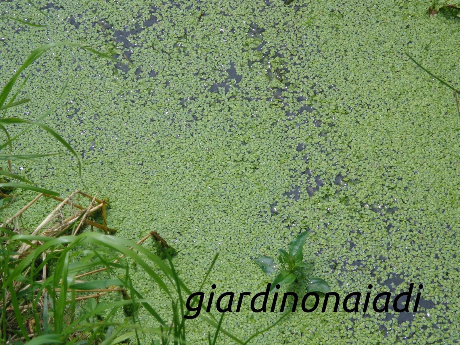 Il giardino delle naiadi il lamineto la vita sotto e for Lenticchia d acqua