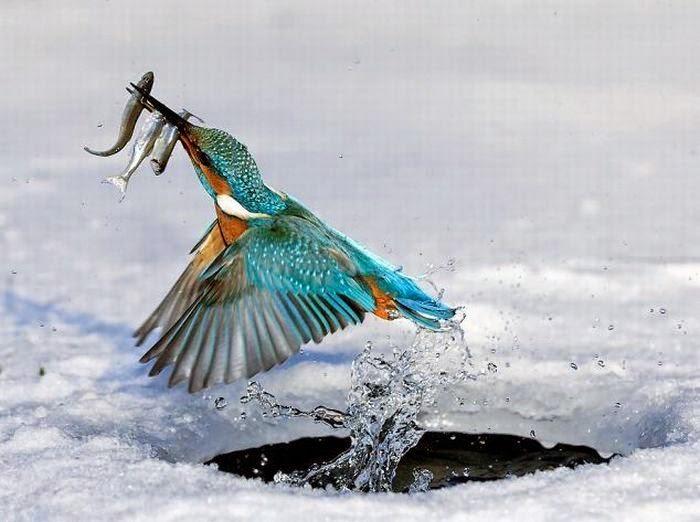 Chim bói cá
